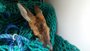 The deer were rescued from a china clay works settling tank