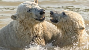 The bears wrestled in the water as temperatures soared