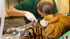 Vets at London Zoo give Raika the tiger a health-check.