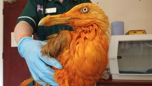 Caught red-handed: seagull turns orange after falling into curry