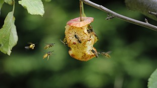 Wasps eat an apple