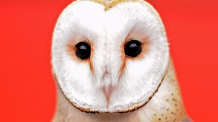 Barn owls will no longer feature in the play