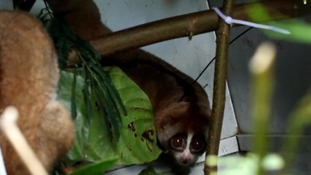 Eight endangered Slow Lorises given second chance