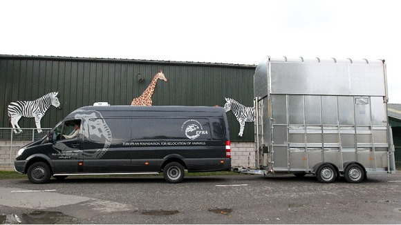 Staff watch as Giraffes Keisha and Harriet arrive at Blair Drummond Safari Park
