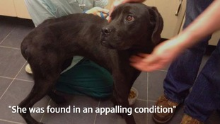 'Maisie' was picked up in Bromsgrove, by Worcestershire Regulatory Services, and was found to be severely emaciated and dehydrated.