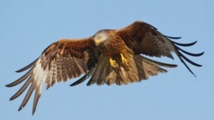 Six red kites have been killed in two months
