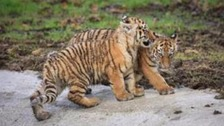 The cubs play together in their woodland enclosure earlier this spring