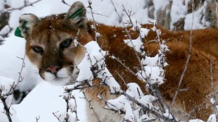 Mother saves five-year-old son from mountain lion