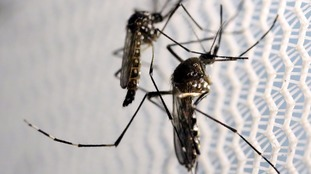 Aedes aegypti mosquitoes, which spread the virus.