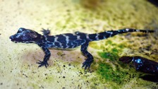 Four baby dwarf crocodiles hatch at ZSL Whipsnade Zoo