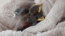 Baby birds 'dumped like rubbish' and left to die