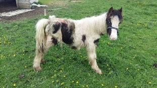 Foal rescued after skin 'eaten alive' by maggots