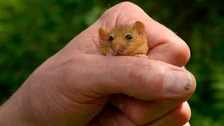 Dormouse officer, Ian White, from the People's Trust for Endangered Species, holds a rare hazel dormouse.
