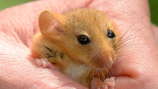 Dormice are rare and vulnerable to extinction.