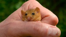 Rare rodent re-introduced to Yorkshire Dales