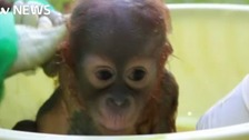 Baby orangutan rescued by Sussex wildlife charity after being shot