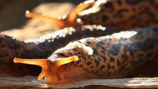 Generic photo of slug.