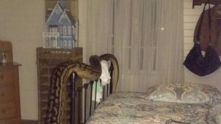 Now that's a nightmare guest! Woman finds five-metre python hanging out in her spare room