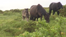 Visitors told not to touch Dartmoor Ponies after tragedy