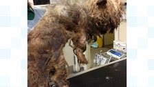 Abandoned dog so hungry 'he tried to eat own matted fur'