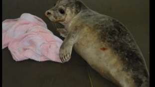 Injured seal