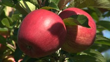 Apples grown in Kent are picked by seasonal workers