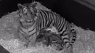 Two rare tiger cubs die within a month
