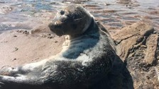 Seal pup with broken jaw has life-saving operation