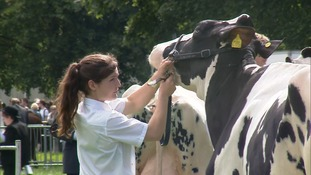 Cows being groomed at the Norfolk Show