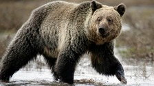 Mountain biker killed by grizzly bear