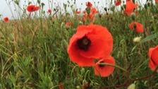 Poppies growing on the Somme battlefield near Serre
