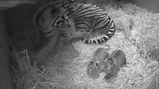 Rare tiger gives births pair of cubs at London Zoo