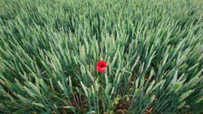 A poppy growing on the site of a former battlefield near the Thiepval Memorial in France
