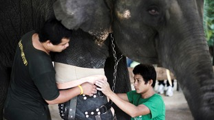 Asian elephant gets new prosthetic leg after being injured by landmine