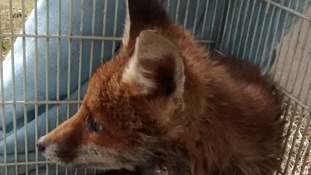 Fox rescued after getting head stuck in electrical duct.