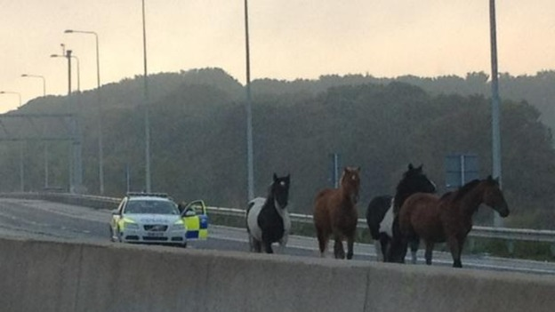 Police give chase to the horses.