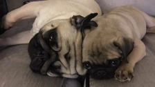 Stolen: Two pug dogs were in the car when it was stolen