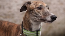 Greyhound Rescue West of England