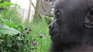 Bristol's C-section baby gorilla can be 'very stroppy'