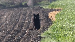 A black fox