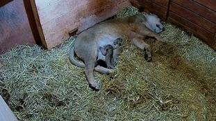 Rare lion cubs born at Paignton Zoo