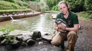 Penguin has first paddle at Dudley Zoo