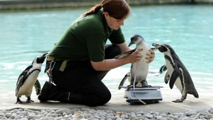 Library picture of penguins at London Zoo.