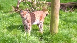 The escaped lynx.