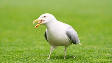 Seagulls stopped deliveries to some homes in Maryport.