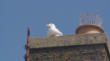 Seagulls are a common sight in Maryport.