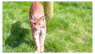 Missing lynx is very close to Dartmoor Zoo