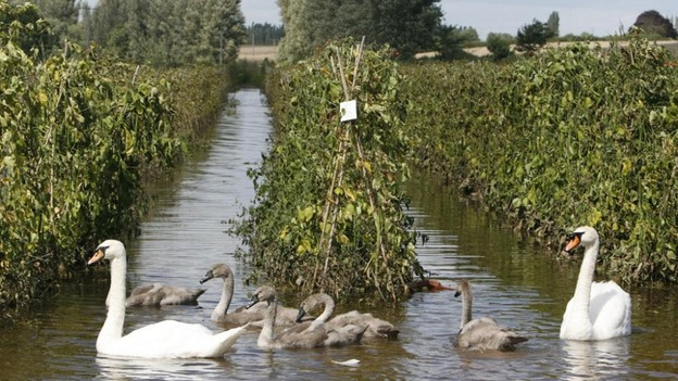 Swans swim through a flood-damaged runner bean crop in Severn Stoke in England