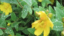 raindrops on yellow flowers and green leaves