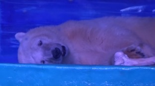 A polar bear kept in a glass enclosure in China's Grandview shopping centre.